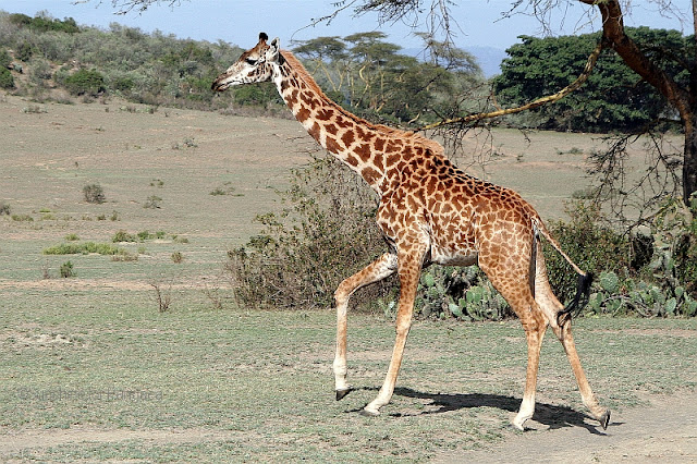 giraffe Lake Naivasha