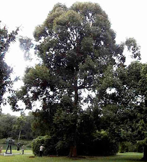 pohon kamper