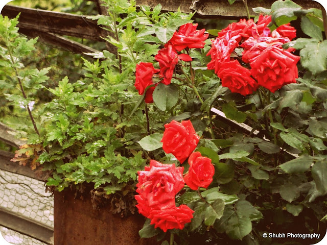 McLeodganj Photography, Rose Photos, Shubh Photography, Roses