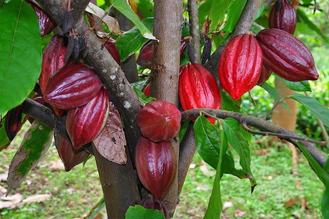 Coklat Jayapura Menembus Pasar Jepang