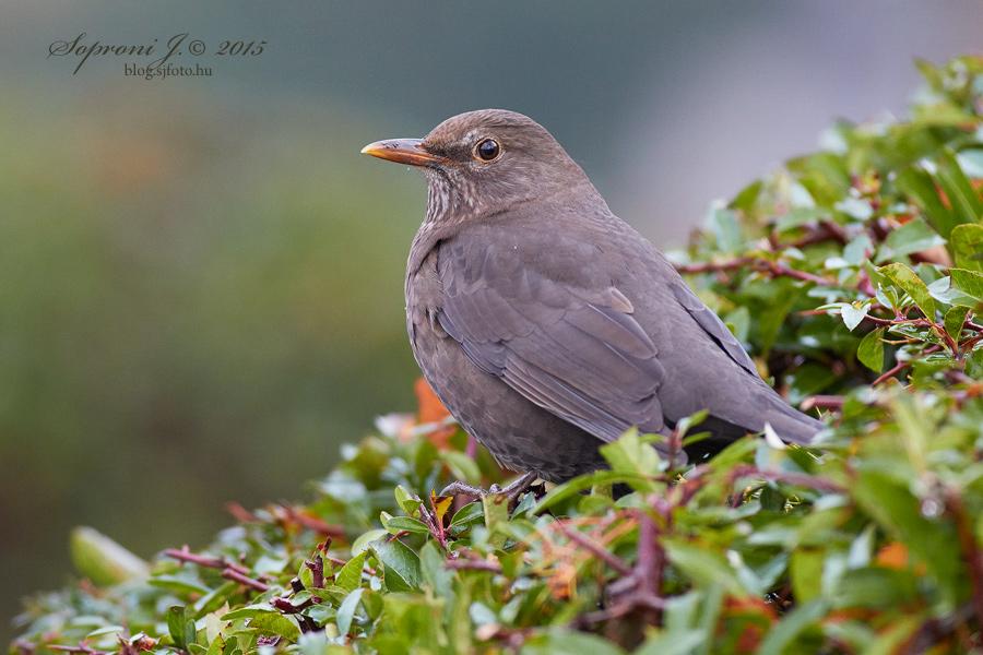 Tojó fekete rigó - Turdus merula - Female Common Blackbird - Amsel Weibchen