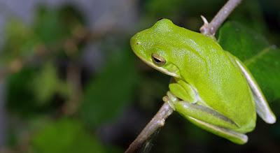 robert santafede frog grip
