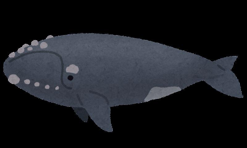 セミクジラの画像 p1_5