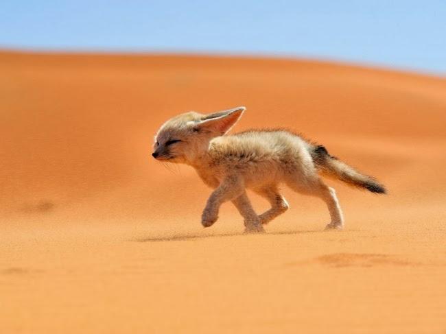 Фенек (лат. Vulpes zerda) — миниатюрная лисица своеобразной внешности, которая живёт в пустынях Северной Африки. Своё имя этот зверёк получил от арабского fanak, что означает «лиса». © Франсиско Мигноренс