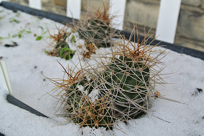 Echinocereus triglochidiatus var. mojavensis sprinkled with snow