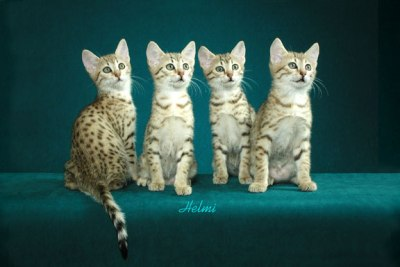 Cat breeds funny kitten egyptian mau cats