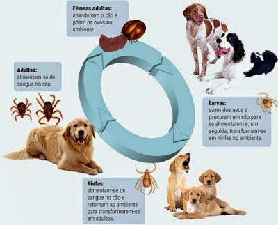 Vòng truyền lây của bệnh giảm bạch cầu trên chó.