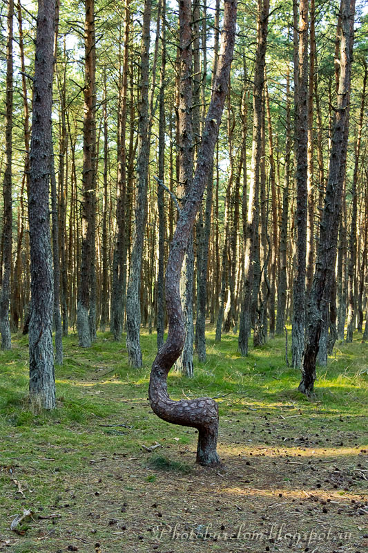 Куршская коса, Танцующий лес