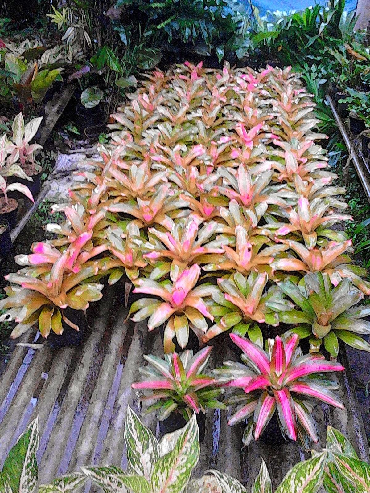 Jual bromelia pink grees,purple star,pink new | aneka jenis bromelia | suplier tanaman | tanaman hias | jasa desain taman