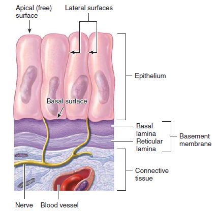 basementmembrane is formed of the basal lamina and the reticular