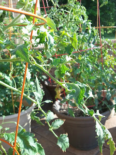 wilted tomatoes