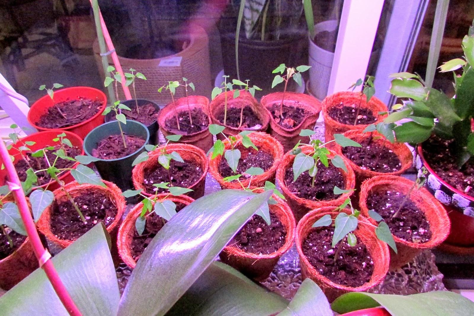 Папайя выращивание в домашних условиях из семян, посадка и уход 7