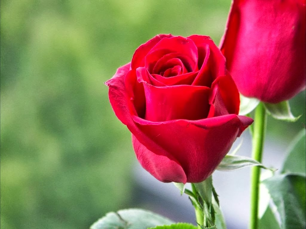 Beautiful Single Red Rose Wallpapers