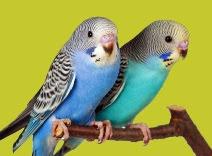 burung parkit jantan betina