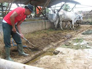 kandang sapi bersih   usahaternak