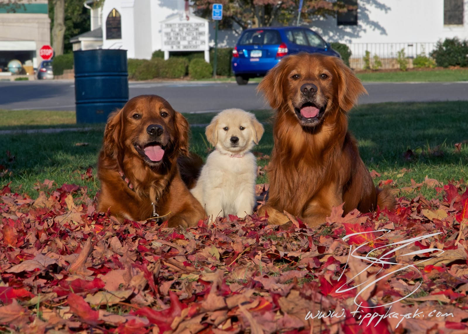 Puppy Tao: How to Find a Red Golden Retriever