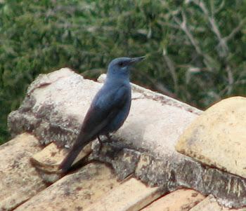 Ένας γαλάζιο πουλί(?)...