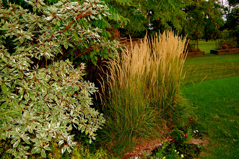 Ornamental grass gardens ideas the for Tall grass garden