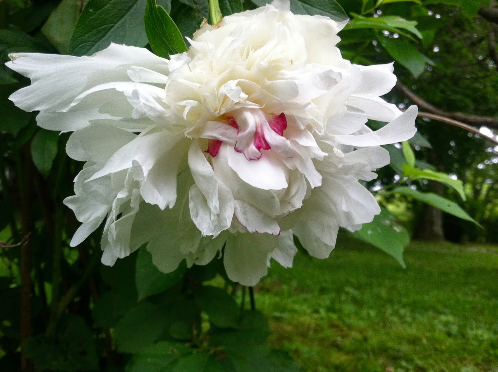 The-Beautiful-Peony