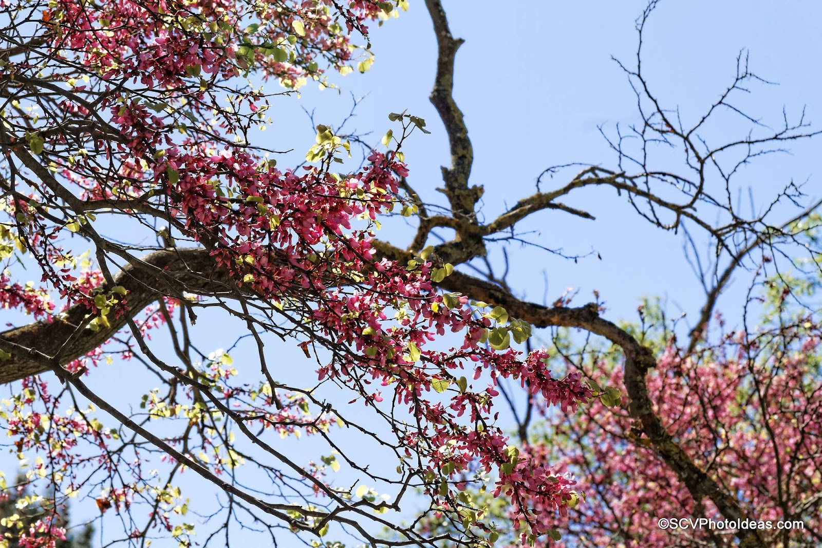 Blossoming Almond Tree branch detail
