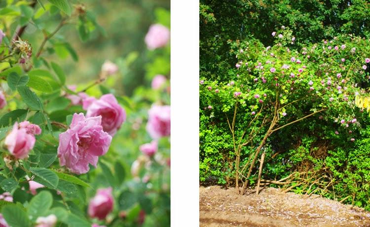 Hurdalrose bliver til stort og rigtblomstrende rosentræ i haven
