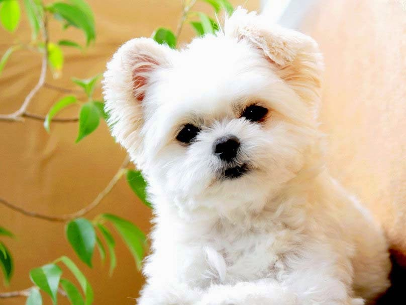 cute-white-puppy