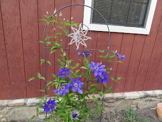 Clematis #blooms