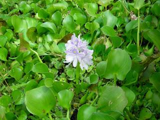 water hyacinth, Eichornia crassipes