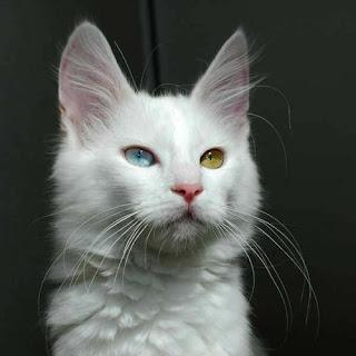 Turkish Angora Cat Pictures