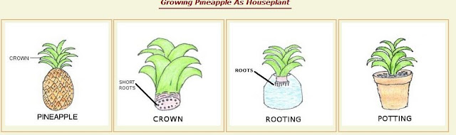 theRVGourmet, What's so Good About Pineapple-how to grow