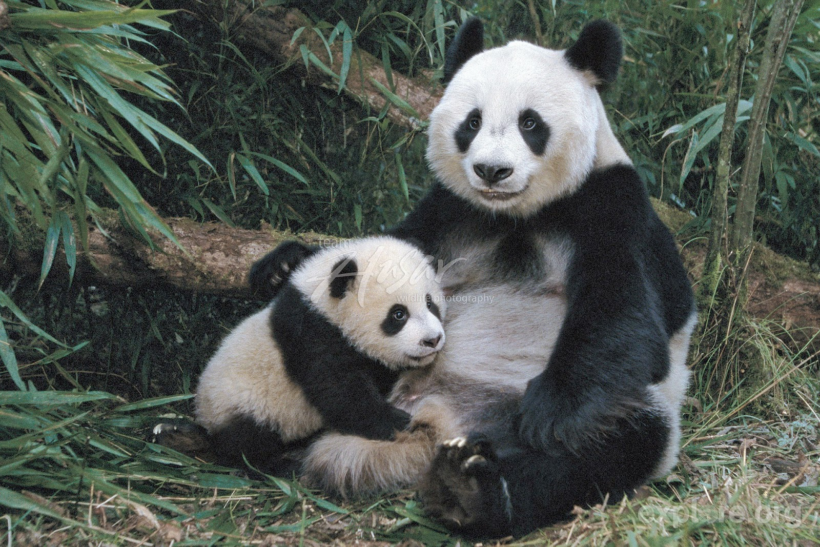 giant panda Habitat of giant panda: the giant panda requires bamboo, and bamboo requires a cool, moist climate, therefore the panda, by extension, requires a cool, moist climate.