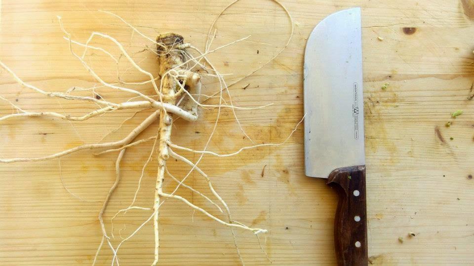 alimento dimenticato e ricco di proprieta', la carota selvatica.