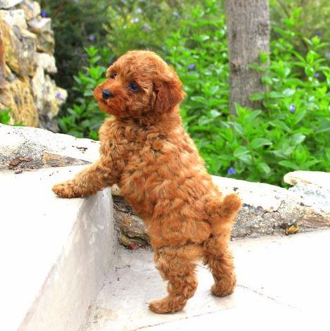 What is a poodle habitat