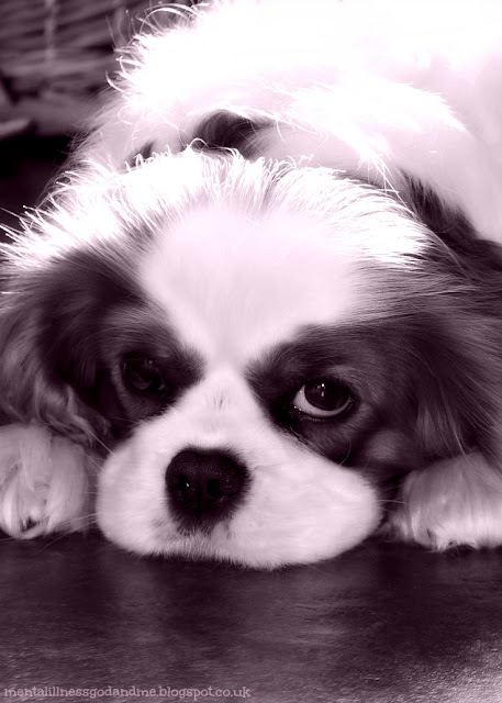 Wordless Wednesday 27.01.2016... 'Cookie'. | Dogs | King Charles Cavalier | Pets | Photography. via @stuckinscared