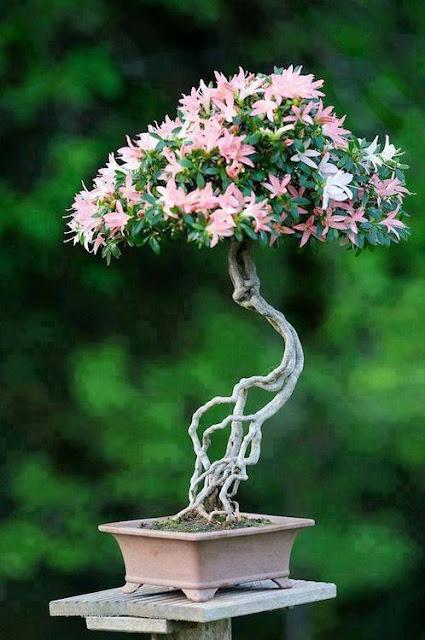 bonsai jepang yang unik