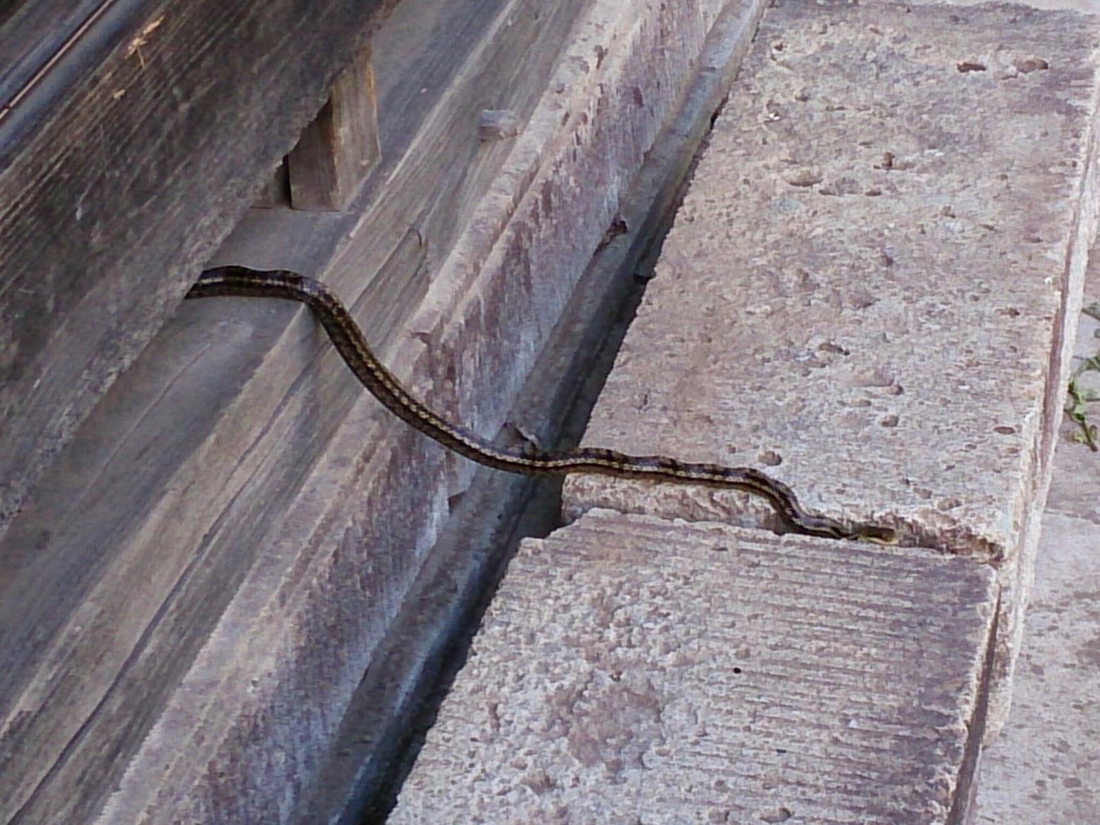 縁側の下のシマヘビ