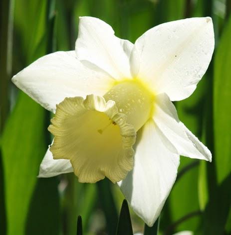 Påskelilje Mount Hood er en let og dejlig blomst i forårshaven