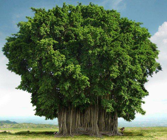 A Beautiful Banyan Tree