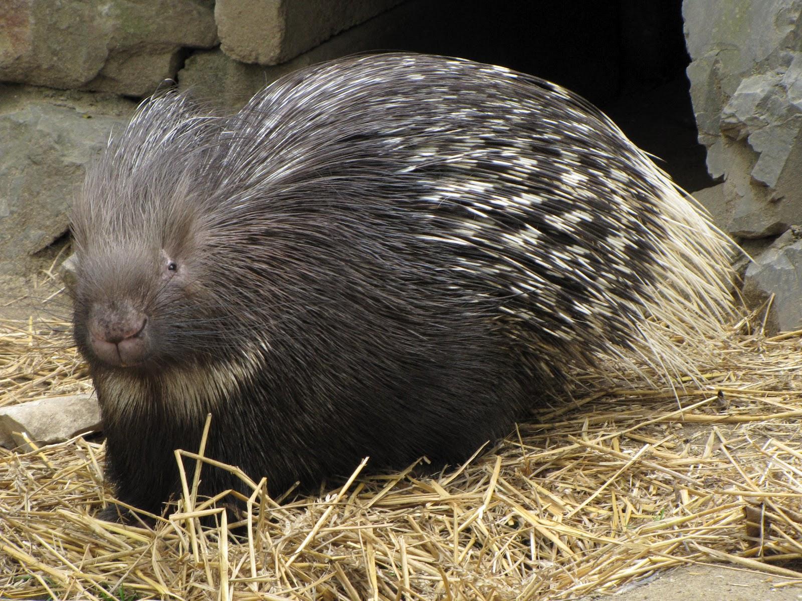 Labels porcupine