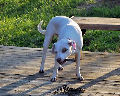 Ziggy chews standing up