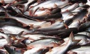 cara budidaya ikan,resensi budidaya ikan patin di kolam terpal,kolam terpal pdf,ternak,lele,nila,gurame,belut,