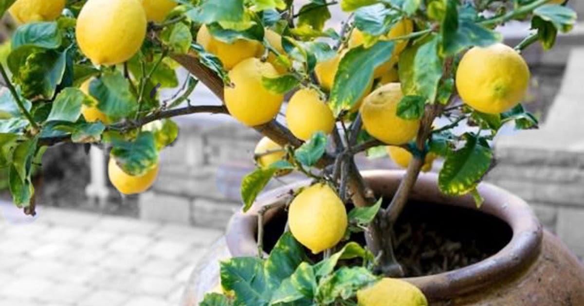 Условия выращивания лимона в домашних условиях 1