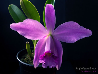 Mini-orquídea Laelia Adrienne
