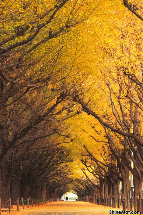 Ginkgo Tree Tunnel, Tokyo