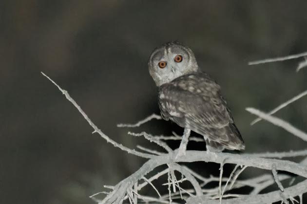 Оманская сова