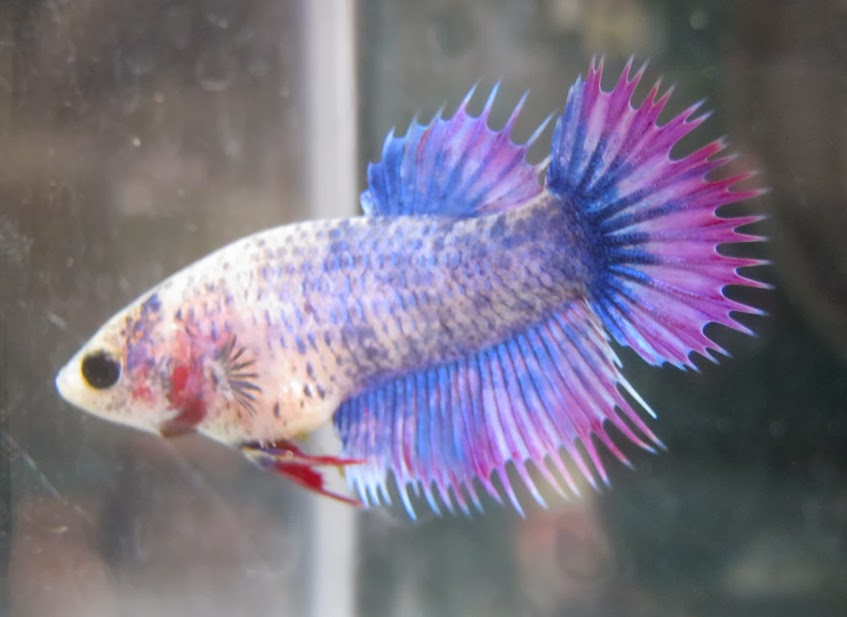 Ganzo games extended pc games rm5 betta fish betta for Female betta fish names