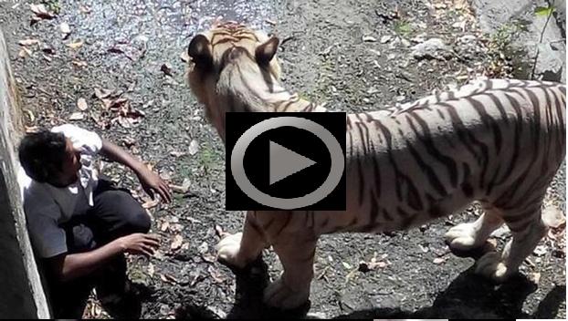 Full video of delhi zoo tiger kills mentally unstable man