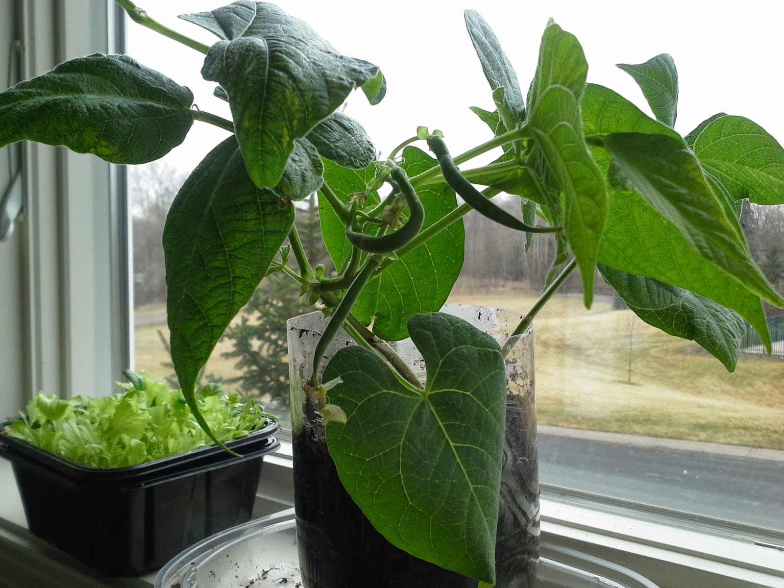 Growing Plants Indoors And Eating From Them Green Beans