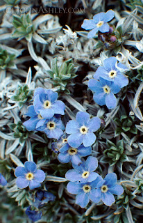 Alpine forget-me-nots (c) John Ashley