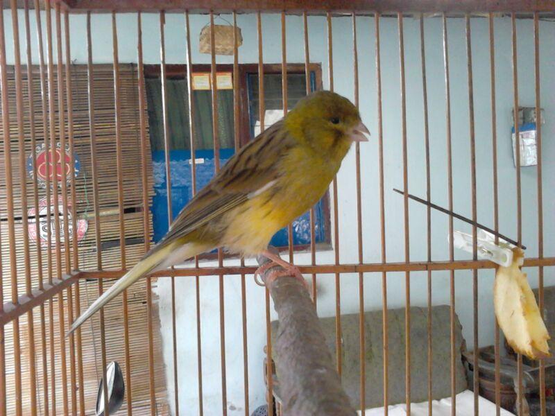 Burung Kenari F2